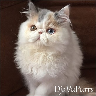 Gorgeous Persian Kittens for sale & adoption Persian cat breeders at