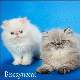 Find Himalayan Cat Breeders with kittens at Absolutely Kittens