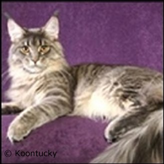 Maine Coon Kittens for sale at Absolutely Kittens Breeders
