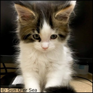 Find Maine Coone Cat Breeders With Kittens At Absolutely Kittens Breeders Listings