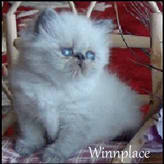 Find Himalayan Cat Breeders with kittens at Absolutely