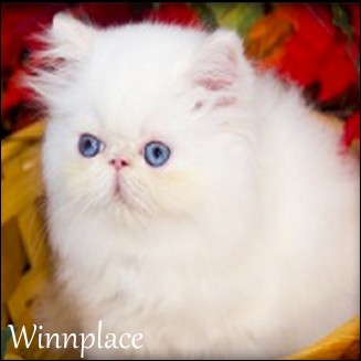 for sale persian kitten